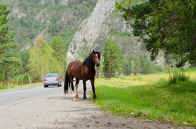 koni-altay